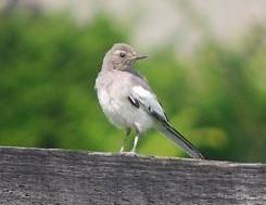 8・ハーツ・セキレイの若鳥