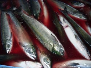 鮭の水揚げ