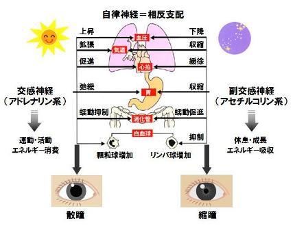 自律神経-2