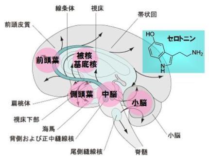 セロトニン神経系