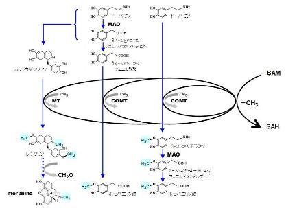 葉酸-12