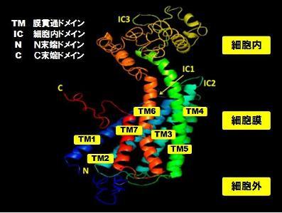 タンパク質-2