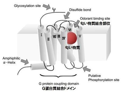 タンパク質-4