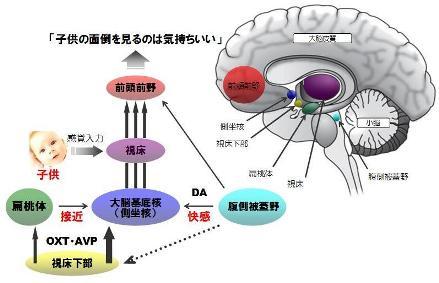 オキシトシン-5