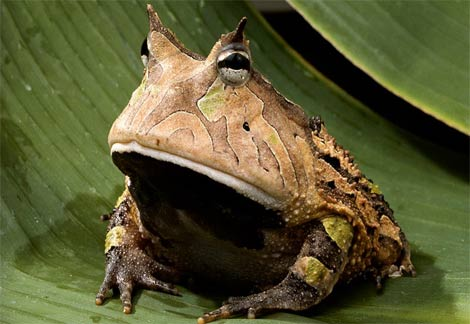 amazon-horned-frog.jpg