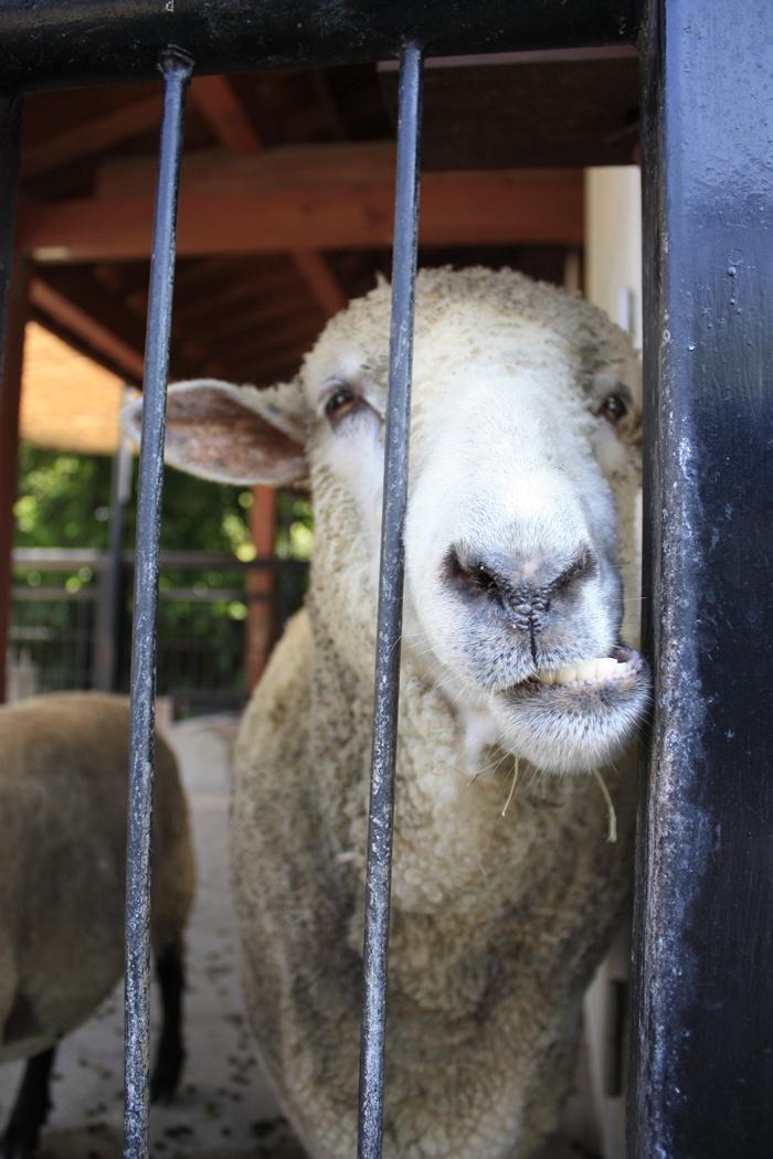 羊・ひつじ