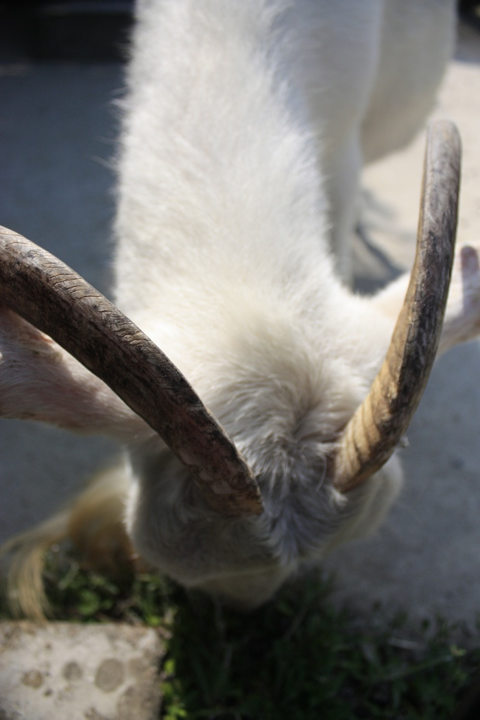 シバヤギ・山羊