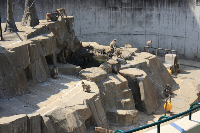 サル山の猿 ホンドザル