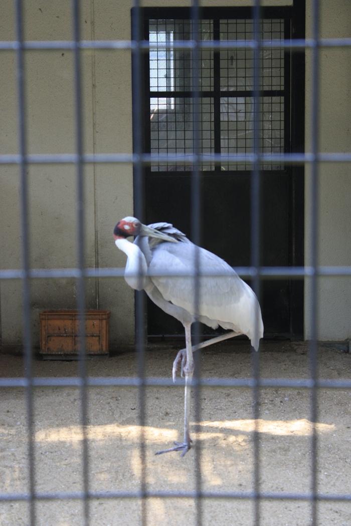 シロエリオオヅル