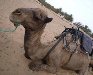 サハラ砂漠らくだ