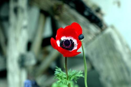 赤い花1s