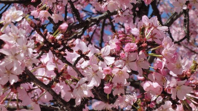 一葉桜の開花に蜂