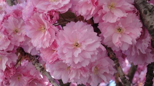 関山桜の開花