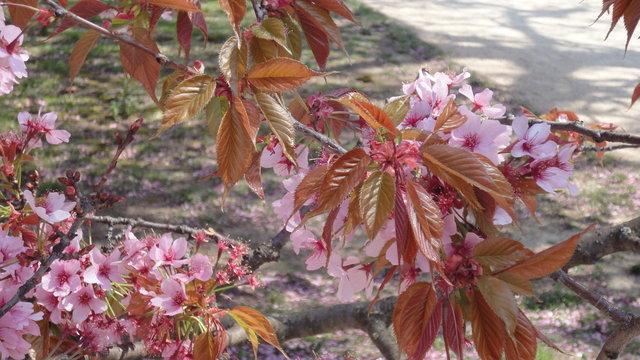 一葉桜の開花
