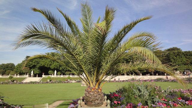 夏のリュクサンブール公園:カナリー椰子