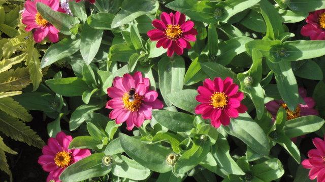 夏のリュクサンブール公園:花にセイヨウオオマルハナバチ