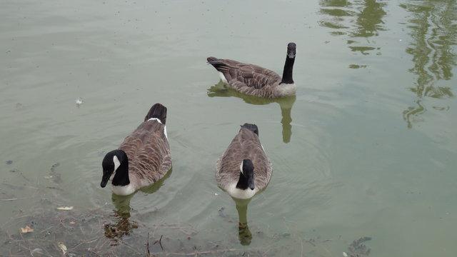 ドーメニル湖でいくつかのカナダガン