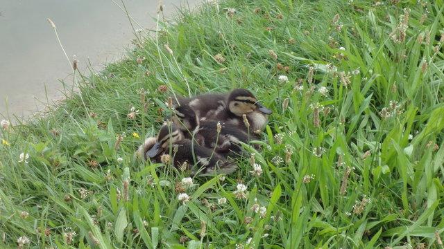 母鴨と彼女の赤ちゃん