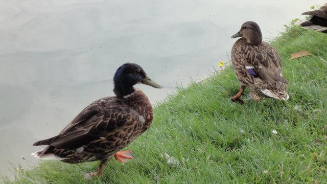 父親鴨と母鴨