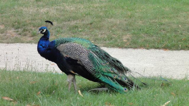 インドクジャクは彼の羽をきれいにします