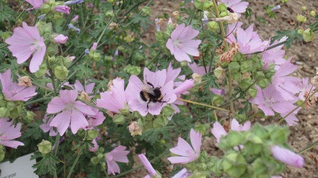 パリ花公園:ジャコウアオイとセイヨウオオマルハナバチ