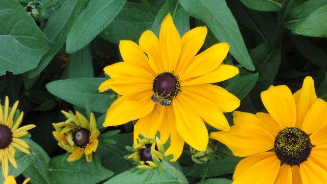 パリ花公園:ルドベキア・ヒルタに蜂