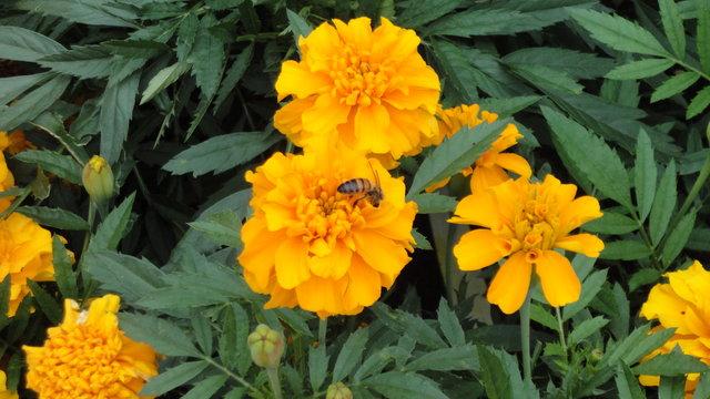 パリ花公園:クジャクソウに蜂