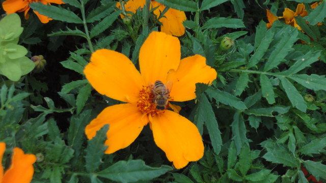 パリ花公園:メキシカン・マリーゴールドに蜂