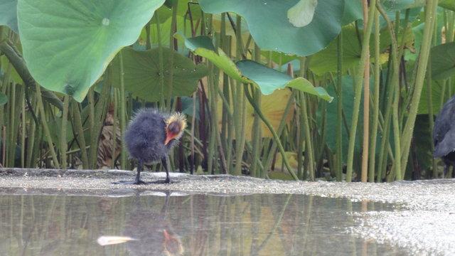 パリ花公園:オオバン雛