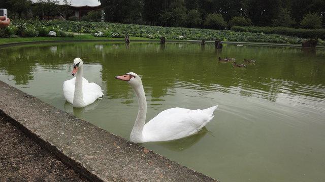 パリ花公園:二羽の白鳥