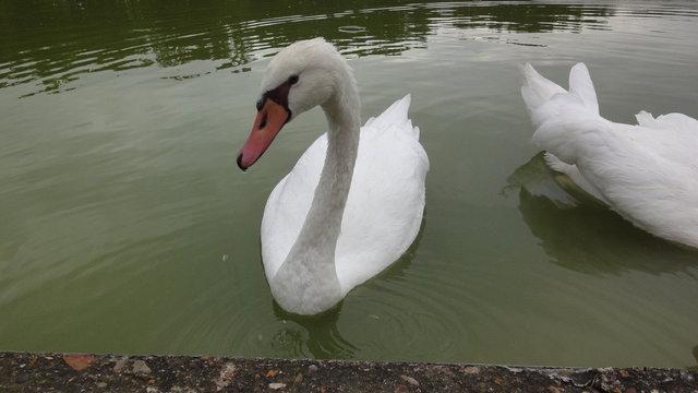 パリ花公園:白鳥