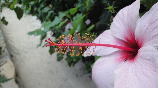 パリ花公園:ブッソウゲ