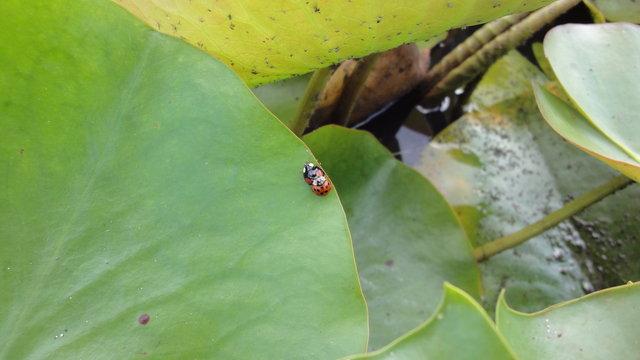 パリ花公園:蓮にテントウムシ