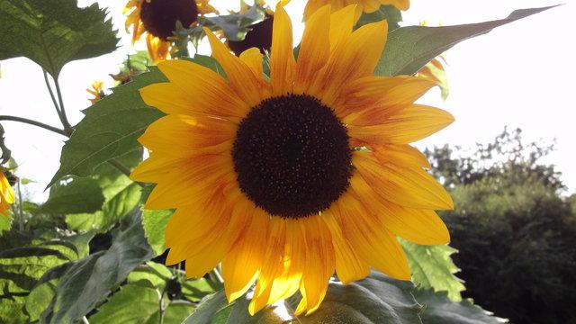 パリ花公園:向日葵