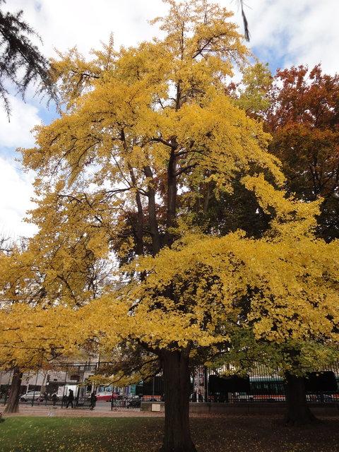 秋のリュクサンブール公園:銀杏