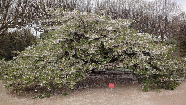 白妙桜の開花