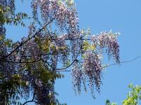 豪華な藤の花