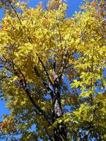 黄葉が始まったトチノキ