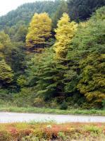 カツラの黄葉