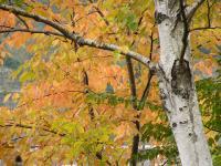 広葉樹の紅葉