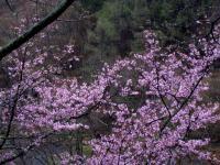 F オオヤマザクラ 五色温泉付近 110510_cIMG_9673