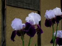 F ジャーマンアイリス 白・紫 110602_cIMG_0149