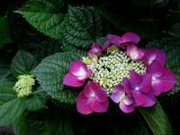 紫陽花 ガクアジサイ 赤紫 110610_cIMG_0672