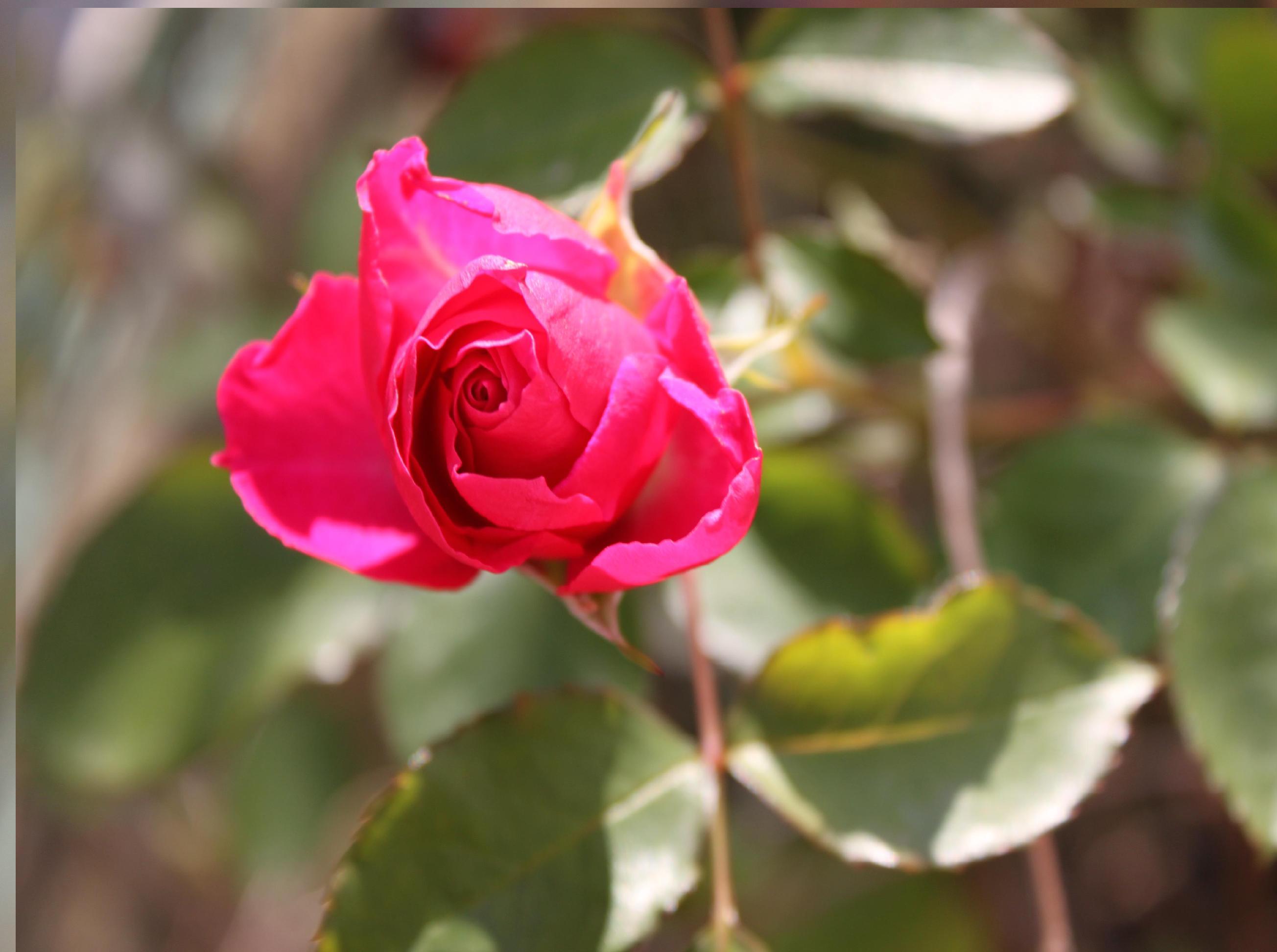 ピンクのミニバラが咲いてたよー。
