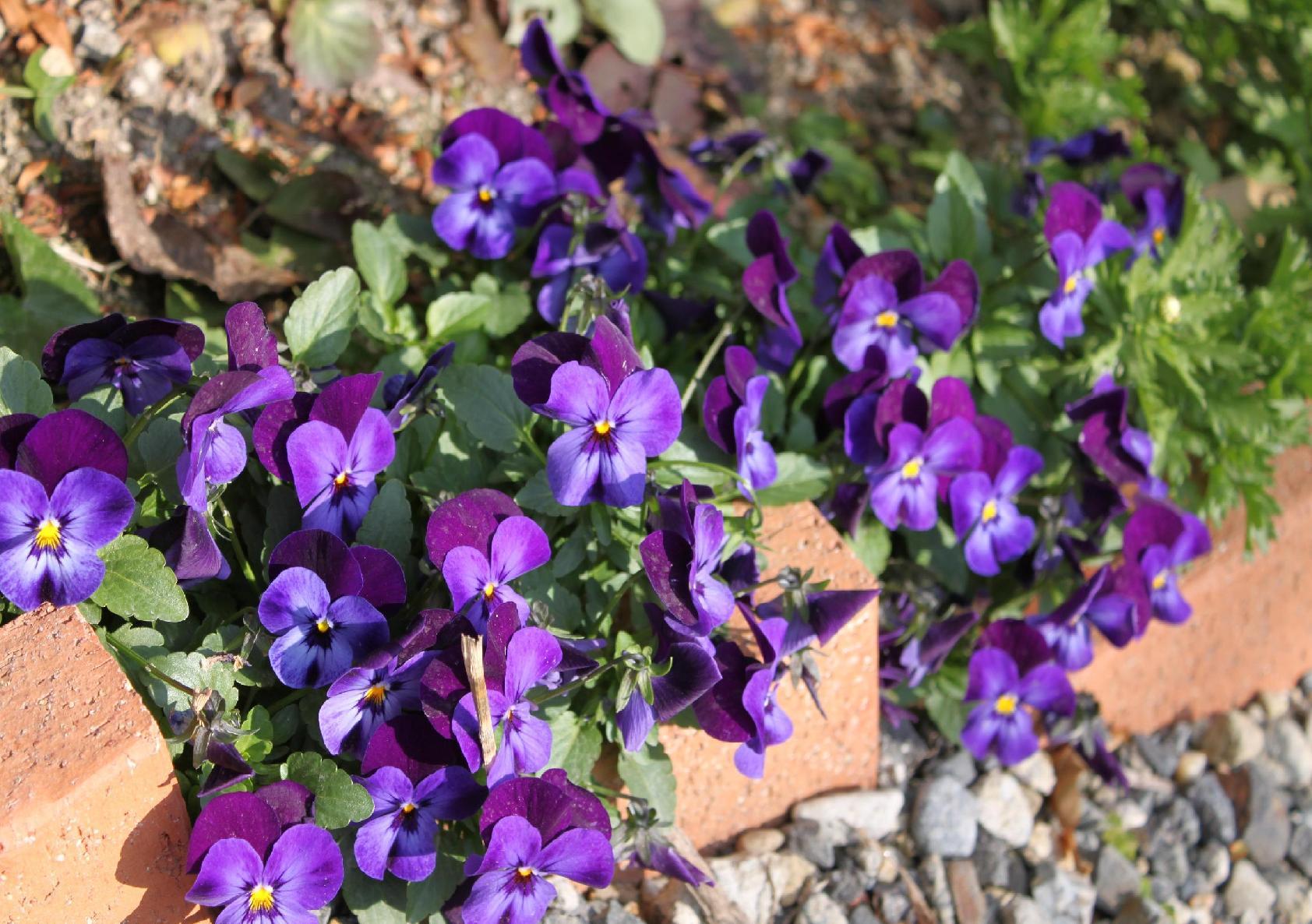 紫のビオラです☆