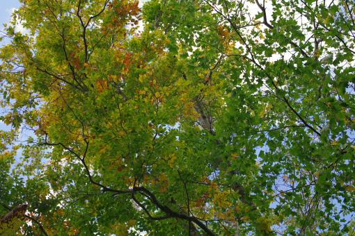 4ブナの紅葉(二分くらい)