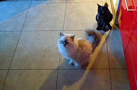 ご飯を待っている愛猫
