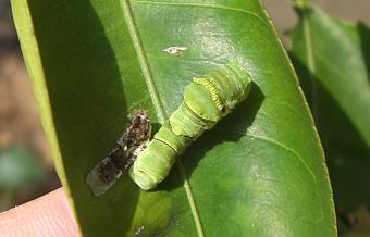 アゲハの幼虫090823-2