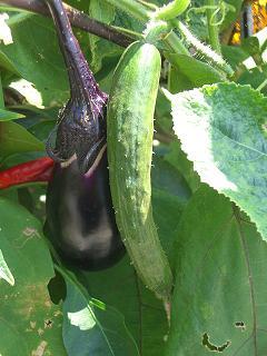 胡瓜と茄子090823-7