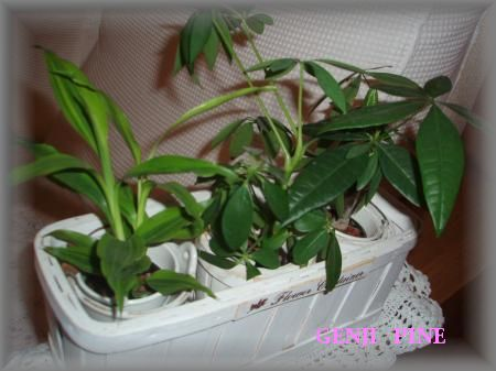新観葉植物